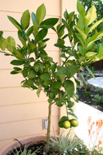 meyer-lemon-tree2